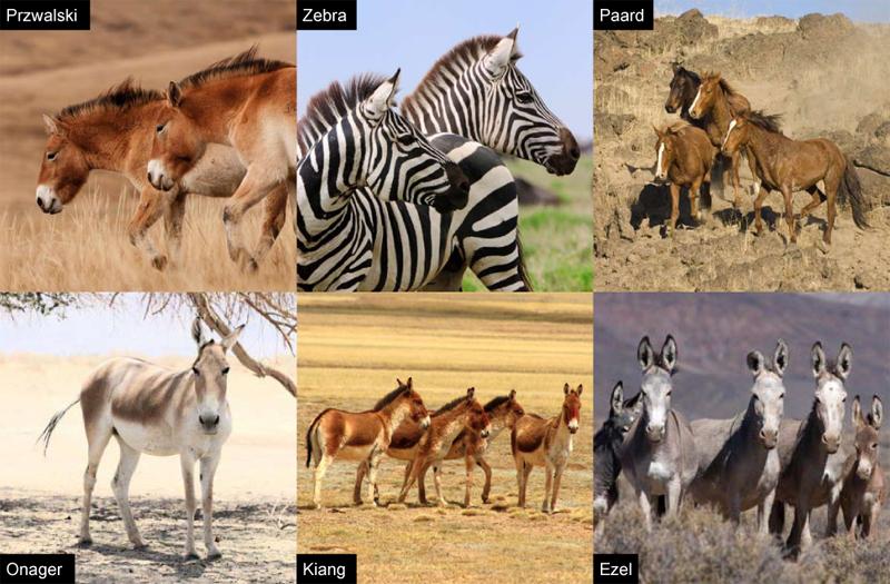 equusfamilie